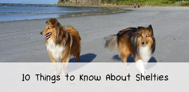 10 Things to Know About Shelties