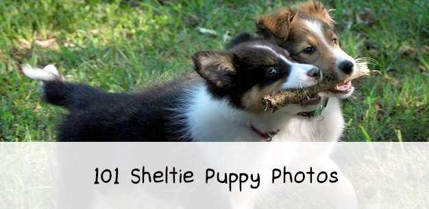 101 Cute Sheltie Puppies