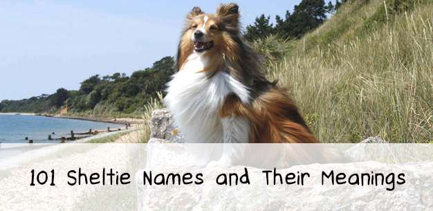 101 Sheltie Names to Inspire