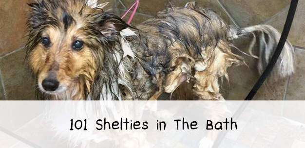 101 Shetland Sheepdogs in The Bath