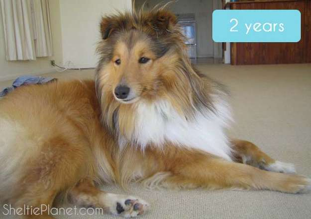 Our Sheltie at 2 Years Old
