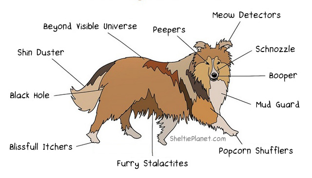 Anatomy of a Sheltie Cartoon