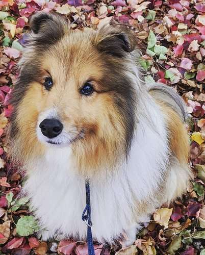 Archie the Sheltie was diagnosed with hip dysplasia at 12 months old