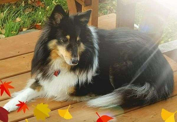 A Sheltie Named Ariel