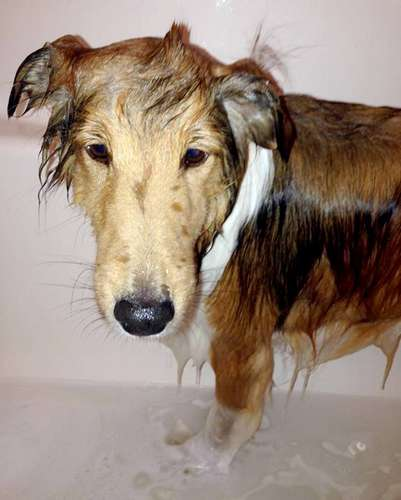 Kylo is always a good boy. He's less than thrilled about bathtime however. By Deb Hildebrandt Christison