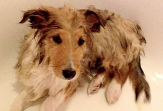Our Sheltie puppy Jasper doesn't like baths at all! By Trish Simms