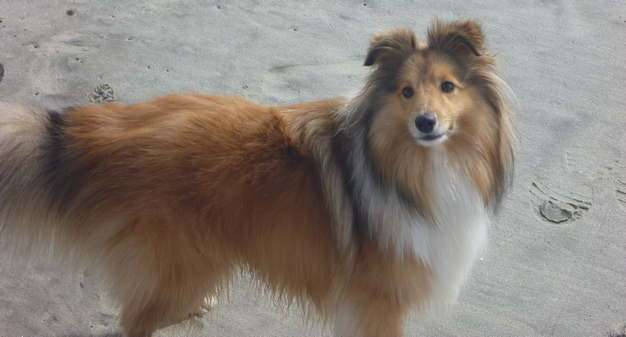 What is the best dog brush for your Sheltie?