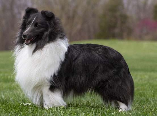 The Black Sheltie