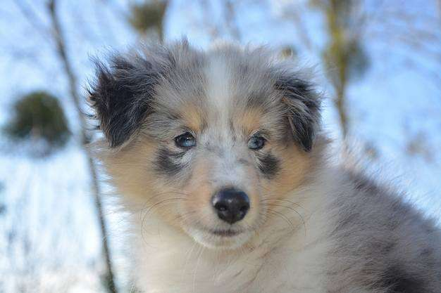A Blue Merle Sheltie Puppy