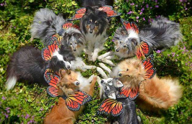Butterfly Shelties by Kaylee Robertson
