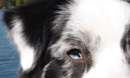 Collie Eye Anomaly affects most Collie dogs to some degree