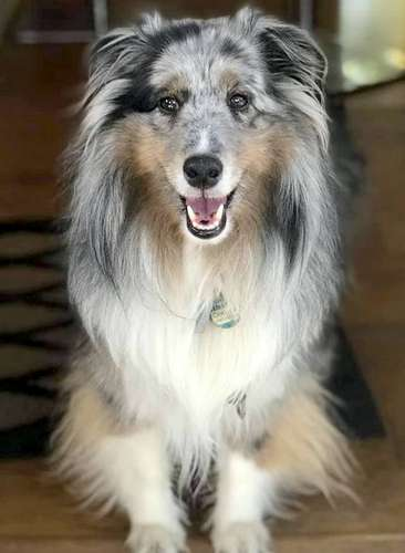 Cooper The Sheltie Dog