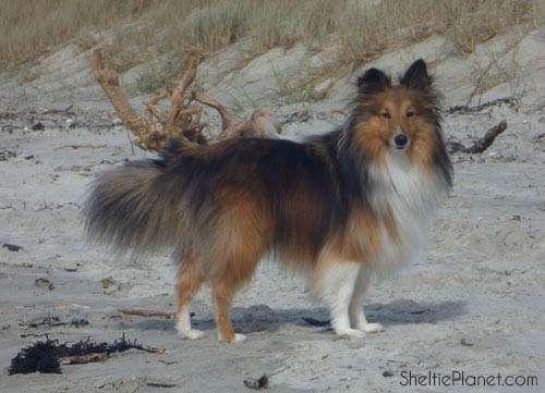 Piper on a walk looking splendid post-grooming