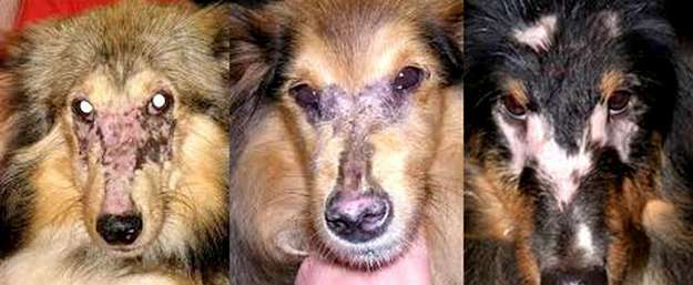 Shelties with Dermatomyositis