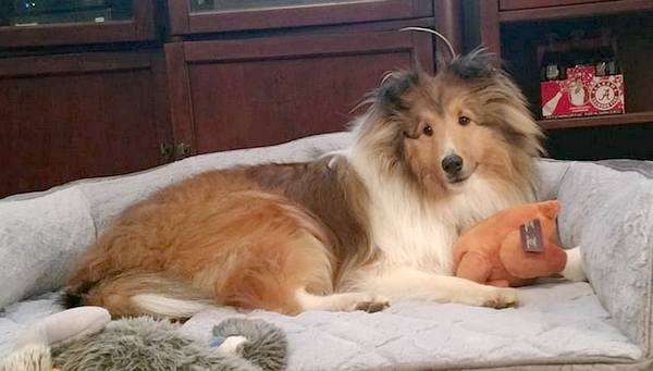 Dillon The Sheltie