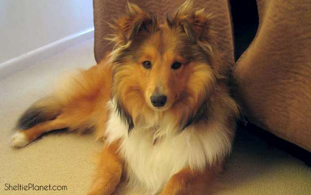 Do Shelties Shed?