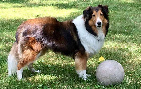 Eddie The Sheltie