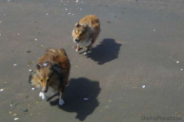 How much exercise does a Sheltie need?