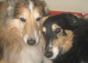 Finn and Polly My Shelties