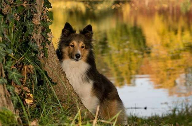 Genetic Health in Shelties