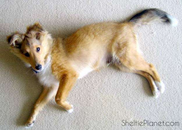You Don't Need to Groom Sheltie Puppies