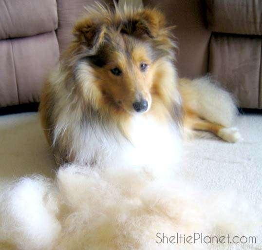 Grooming The Sheltie under coat