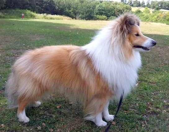 Male Sheltie Names Goldenacresdogs