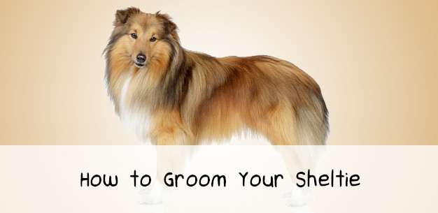 How to Groom a Shetland Sheepdog