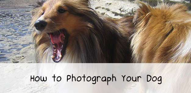 How To Photograph Your Shetland Sheepdog