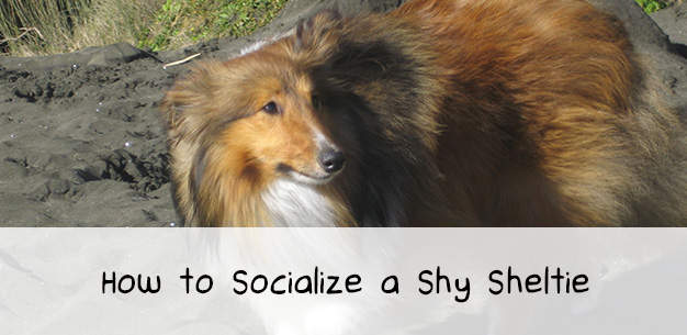 How to Socialize a Shy Sheltie Dog