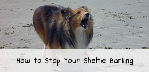 How to Stop Your Sheltie Barking