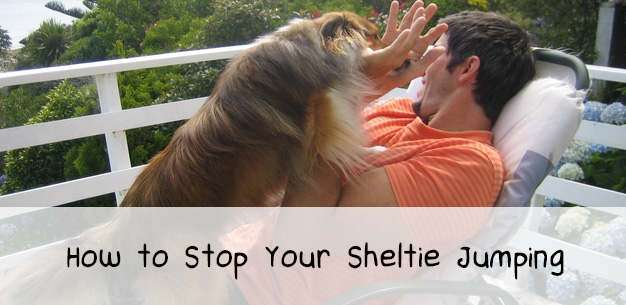 How to Stop Your Sheltie Jumping