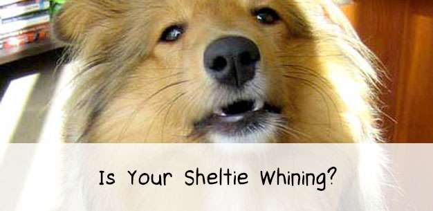 How to Stop Your Sheltie Whining