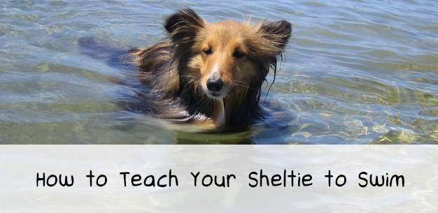 How to Teach Your Sheltie to Swim