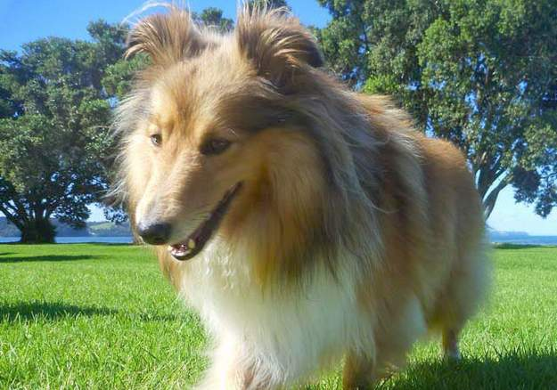 Howard My First Shetland Sheepdog