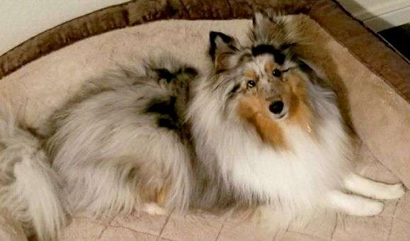 A Sheltie Named IndyCar