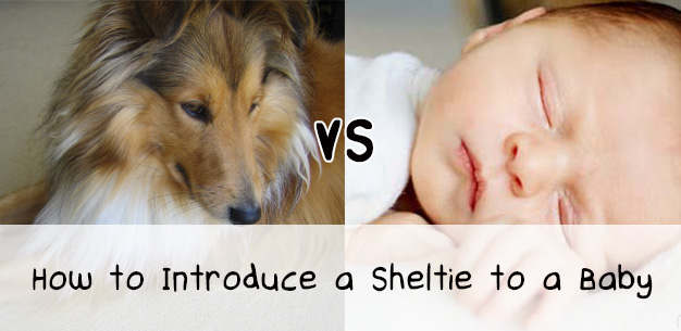 How to Introduce Your Newborn Baby to Your Sheltie