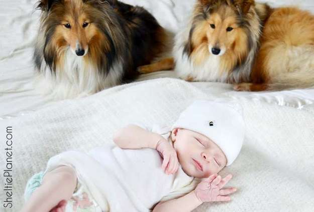 Introducing Your Newborn Baby to Your Sheltie