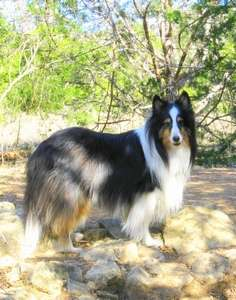 My Sheltie Tale: Lady Duchess