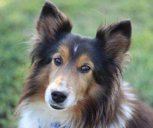 Leo The Sheltie