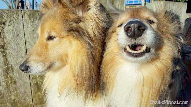 Magnificent Shelties