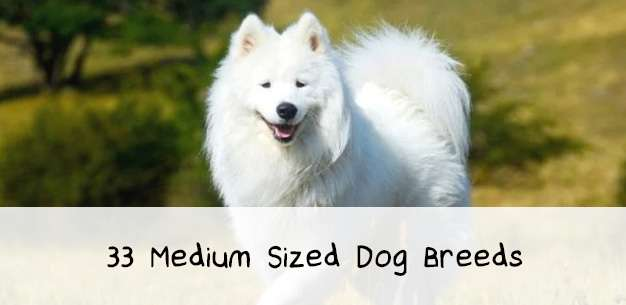 33 Medium Sized Dog Breeds