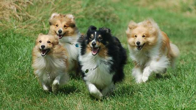 Mini Shelties