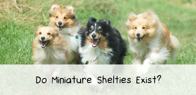 Miniature Shelties