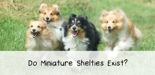 About Shetland Sheepdogs