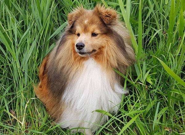 Miniature Sheltie Puppies Do They Exist