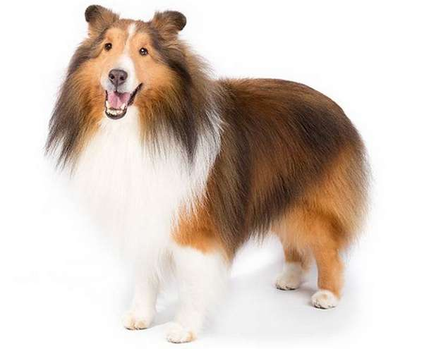 Toy Collie Dog