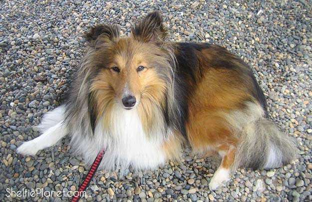 Shelties are the sixth most intelligent dog breed