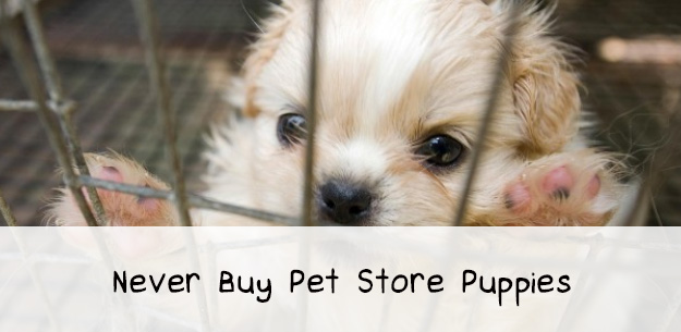 Why You Should Never Buy Pet Store Puppies