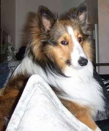 Our Sheltie, Chase